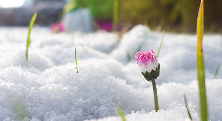 picture of a pink and white flower growing through the snow